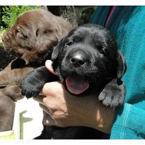 Labradores, Cachorros Chocolates Y Negros, Pedigri Fca