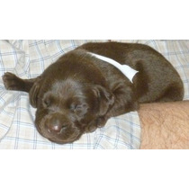 Labrador Chocolate Cachorros Genética De Excelencia