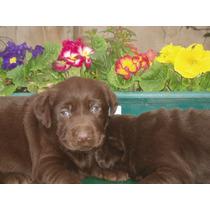 Los Mejores Cachorros De Labrador Chocolate Fca
