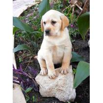 Labrador Retriever Cachorros Excelencia Rockefeller Willsam