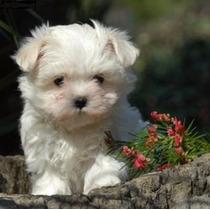 Malteses Divinas Mascotas