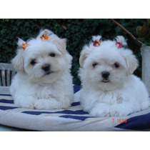 Maltes Malteses Cachorros Mini Miralos Con Pedigree