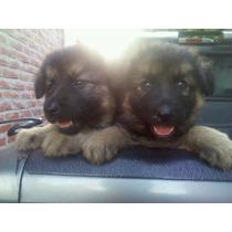 Cachorros Ovejero Aleman Pelo Largo-garantia Escrita X 1 Año