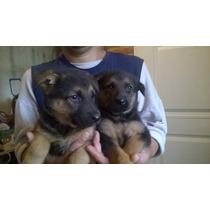 Nuevos Cachorros Ovejero Aleman Garantía X Un Año Padres Poa
