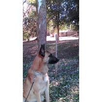 Cachorros Malinois Con Fca