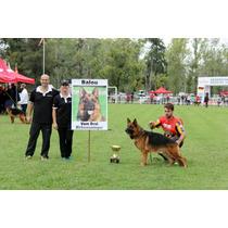 Cachorro Ovejero Alemán Con Pedigree