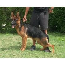 Perros Libres De Displasia De Cadera