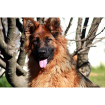 Cachorros Pelo Largo-excelente Cria (inscripta En Poa)