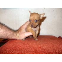 Pincher Miniatura Super Chiquitos