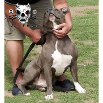 Pitbull Blue Argentina Criadero Age Of Meka Fca Aca Abkc