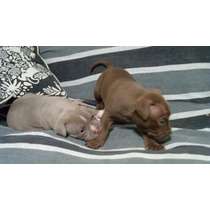 Cachorros Pit Bull Red Nose Con Pedigree