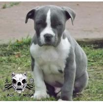 Age Of Meka Pitbull Blue Argentina Abkc Aca Cachorro