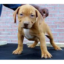 American Bully Red