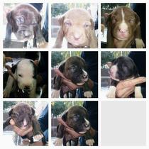 Vendo Perro Américan Pitbull Terrier Machos Hembras Papeles