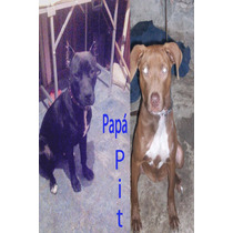 Cachorros Pitbull!!