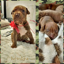 Cachorros Pit Bull Bull Terrier / Red Nose