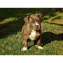 Pitbull Blue Hembra Ziu Age Of Meka Registro Chip