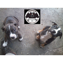 Cachorros Pitbull Con Papeles - Registro F.c.a