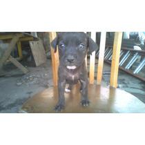 Vendo Cachorros Pit Bull 450 500