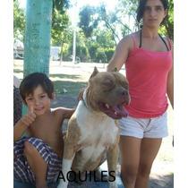 Cachorros Pitbull Exelentes!!