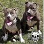 Pitbull Blue Argentina Criadero Age Of Meka Cachorros Aca