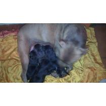 Pitbulls Recien Nacidos