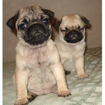 Hermosas Cachorras De Pug Carlino