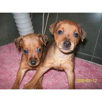 Pincher Mini Cachorros Macho Papeles Fcagarantia Veterinario