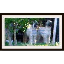 Cachorros Galgos, Afganos