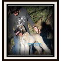 Cachorros Afganos, Raza Afghan Hound Con Pedigri C.c.a.