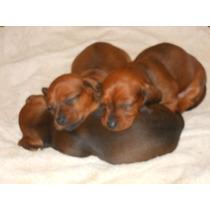 Dachshund Miniatura-salchicha-envios A Todo El Pais-machos