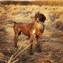 Vendo Cachorros Braco Aleman Kurzhaar