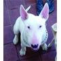 Bull Terrier En Servicio F.c.a Cambio Por Cachorra