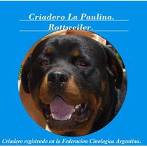 Criadero De Rottweiler La Paulina Anuncia Su Nueva Camada.