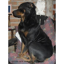 Cachorros Rottweilers Puros (linea Americana)