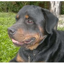 Macho Rottweiler Para Servicio Rosario Fisherton $1900
