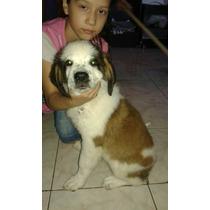 San Bernardo Cachorra 3 Meses