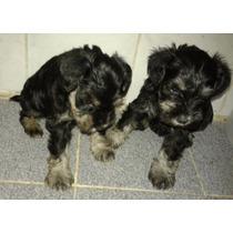 Vendo Cachorro Schnauzer Mini.negro Y Plata