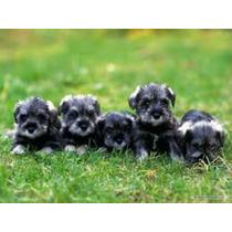 Cachorros De Schnauzer Sal Y Pimienta Listos Para Entrega