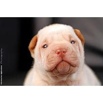 Cachorros Shar Pei Crema Azul Lilac Blue Machos Hembras