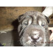Shar Pei Cachorros ¡¡¡¡¡hermosos !!!!!