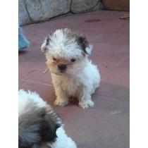 Shih Tzu Shitsu Cachorros Mini Miralos Los De La Foto
