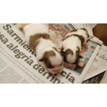 Hermosos Cachorros De Shih Tzu Con Fca