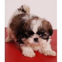 Hermosos Cachorros De Shih Tzu Machos Con Fca
