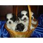 Adorables Cachorritos Shih Tzu.criados En Casa De Familia. P