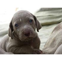 Weimaraner Puros Cachorros Madre Con Papeles
