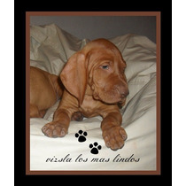 Vizsla Cachorros Los Mas Lindos !!!!