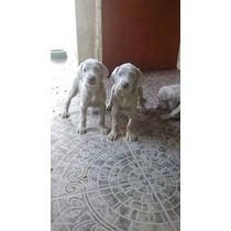 Cachorro Weimaraner Criadero Del Goliardo