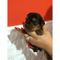 Cachorros Shorkshey Solo 2 Machitos Disponibles