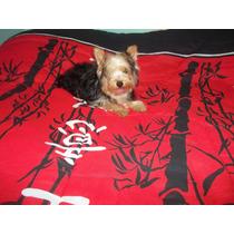 Cachorro Yorkshire Hembra